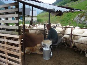 La trait pour la préparation du fromage d'estive